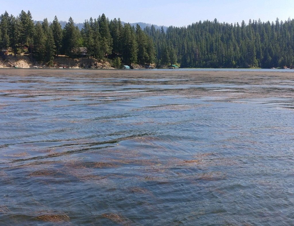 Milfoil on Hayden Lake