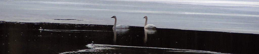Swans on Mokins Bay