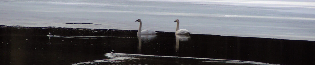 Swans on Mokins Bay