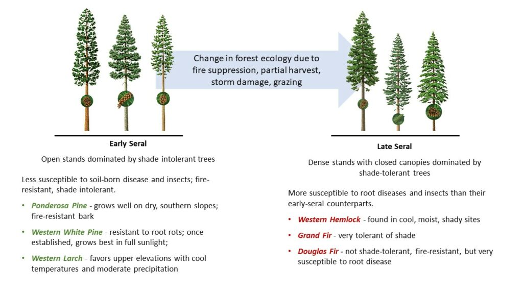 Change in forest ecology due to fire suppression, partial harvest, storm damage, grazing