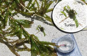 Curly-leaf Pondweed with turion highlighted